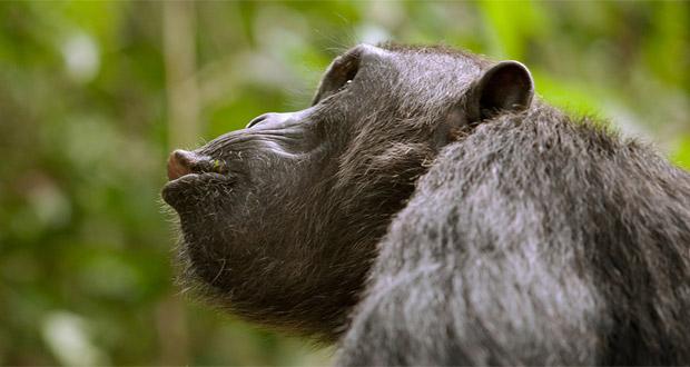 واکنش شامپانزه ها در هنگام خطر ، شباهت بسیاری به انسان دارد!