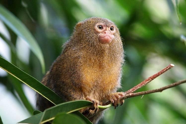 کشف کوچکترین فسیل میمون جهان در جنگل آمازون